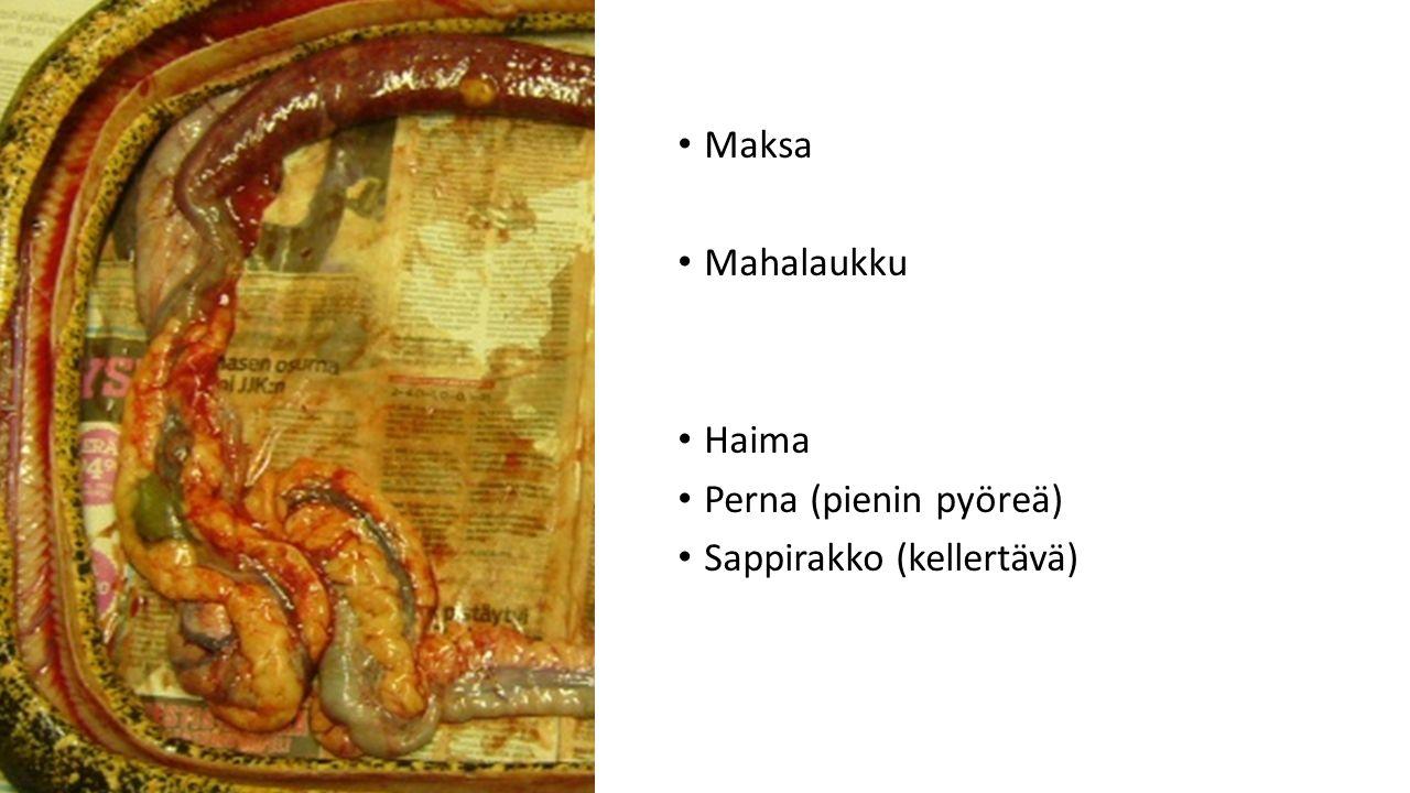 Maksa Mahalaukku Haima Perna (pienin pyöreä) Sappirakko (kellertävä)