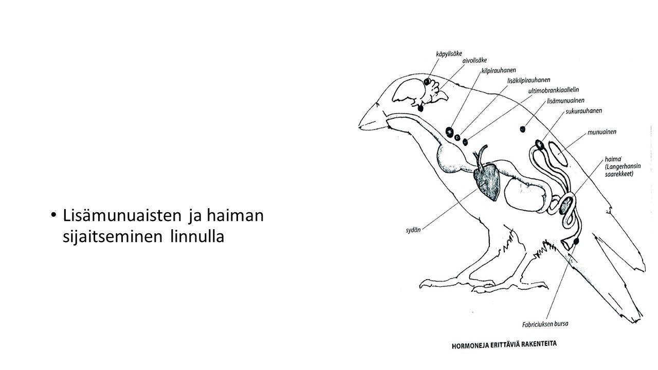 Lisämunuaisten ja haiman sijaitseminen linnulla