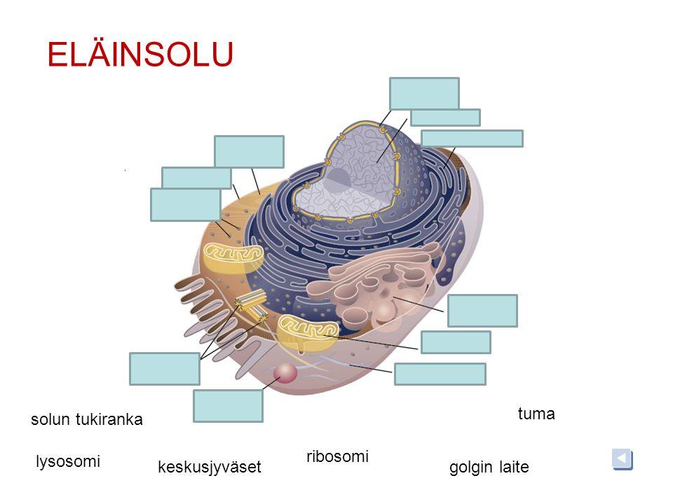 ELÄINSOLU tuma solun tukiranka ribosomi lysosomi keskusjyväset
