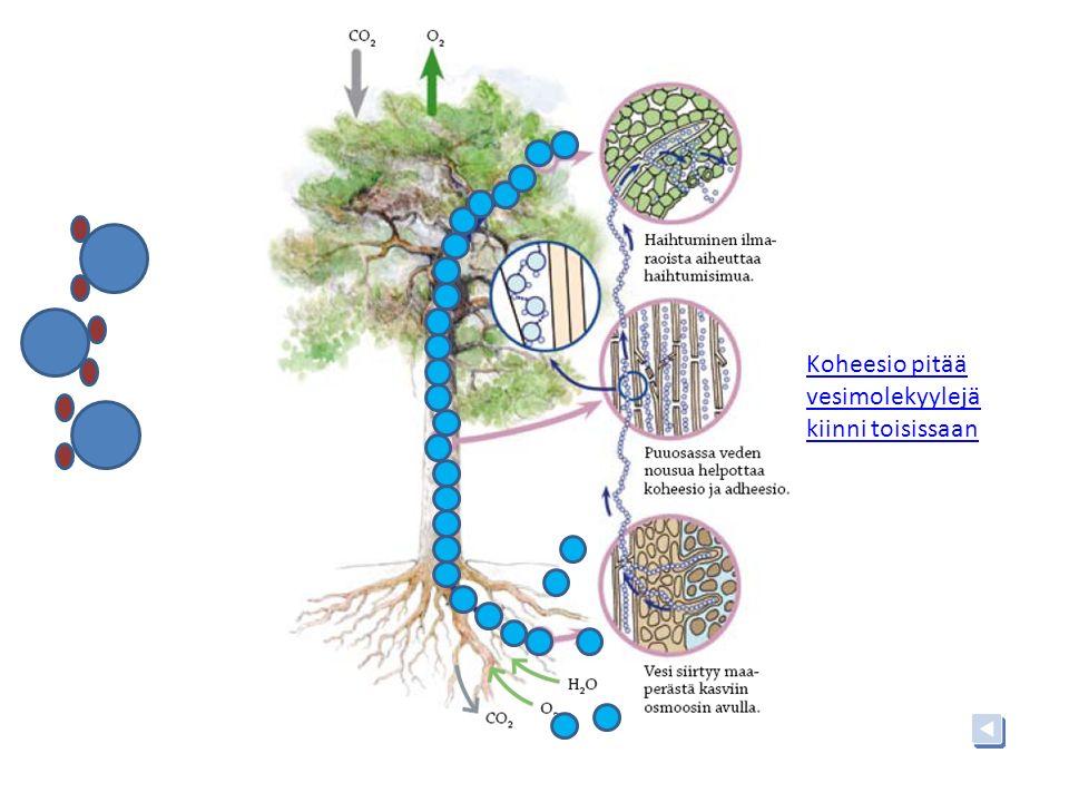 Koheesio pitää vesimolekyylejä kiinni toisissaan