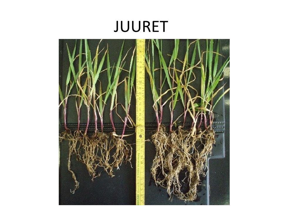 JUURET