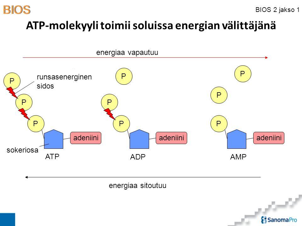 ATP-molekyyli toimii soluissa energian välittäjänä