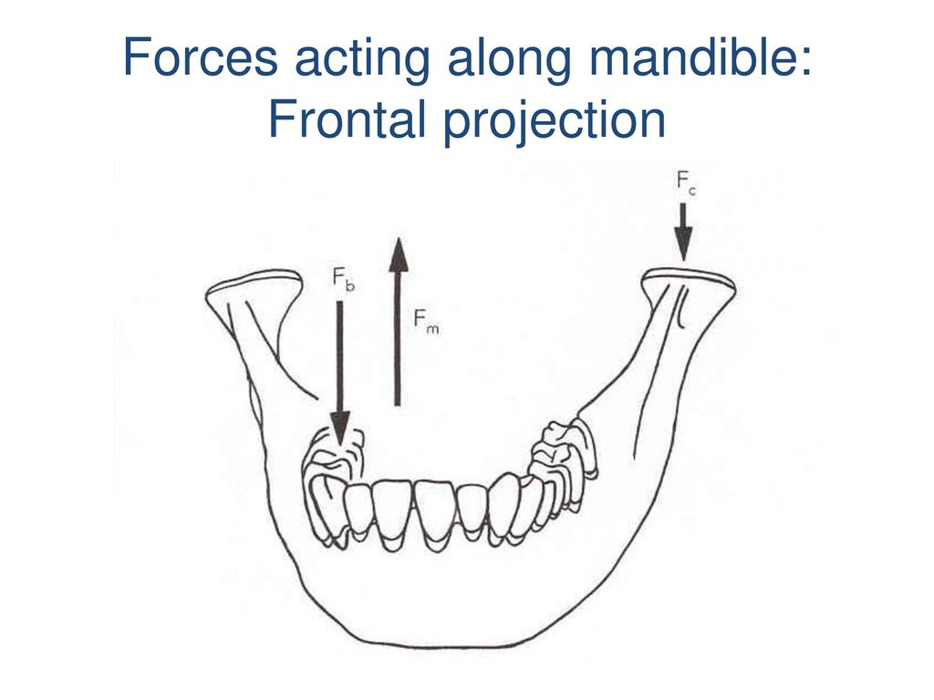 Forces acting along mandible: Frontal projection