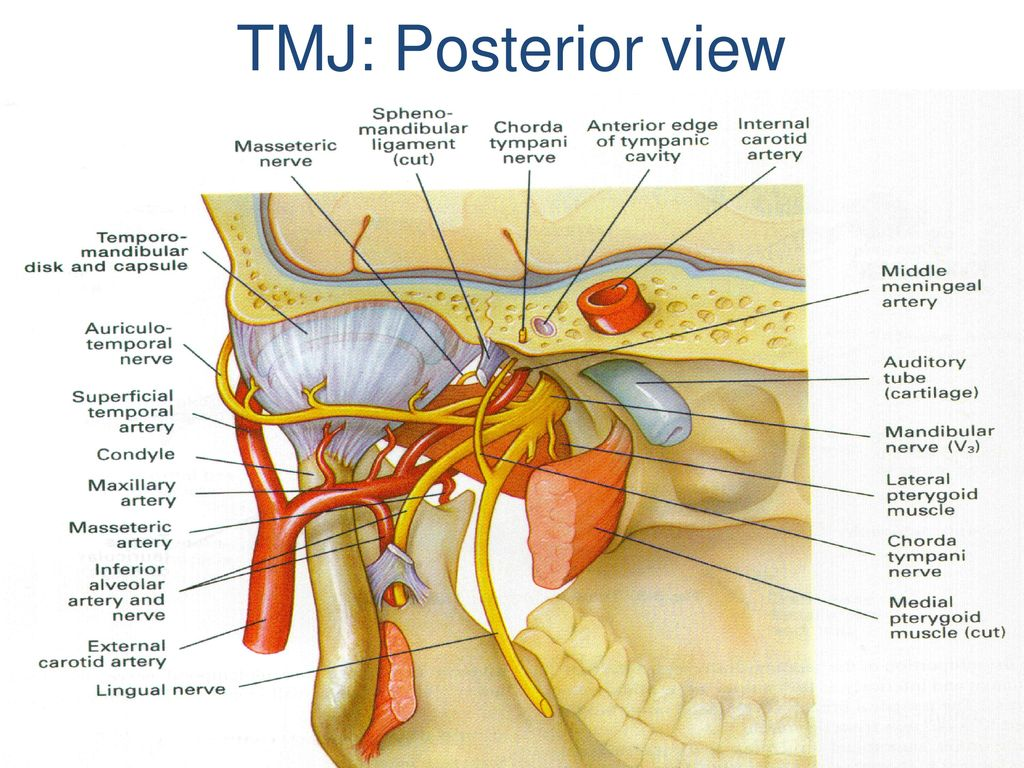 TMJ: Posterior view