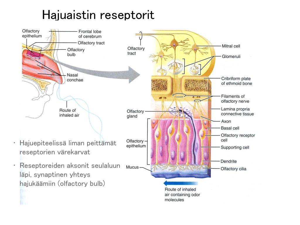 Hajuaistin reseptorit