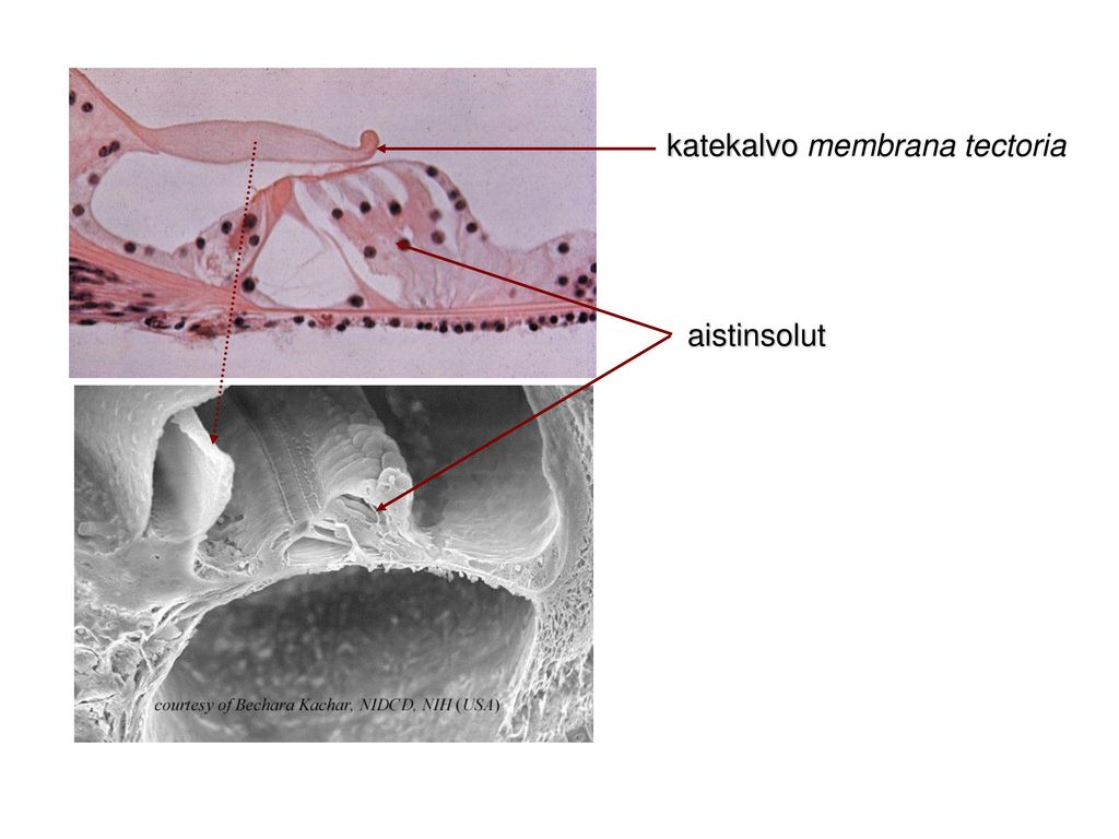 katekalvo membrana tectoria