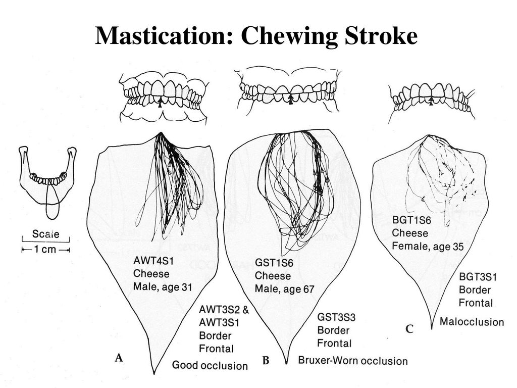 Mastication: Chewing Stroke