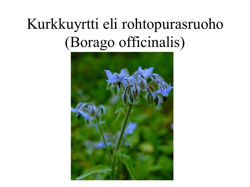 Kurkkuyrtti eli rohtopurasruoho (Borago officinalis)