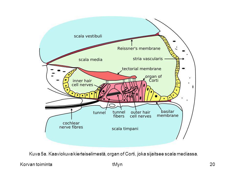 Kuva 5a. Kaaviokuva kierteiselimestä, organ of Corti, joka sijaitsee scala mediassa.
