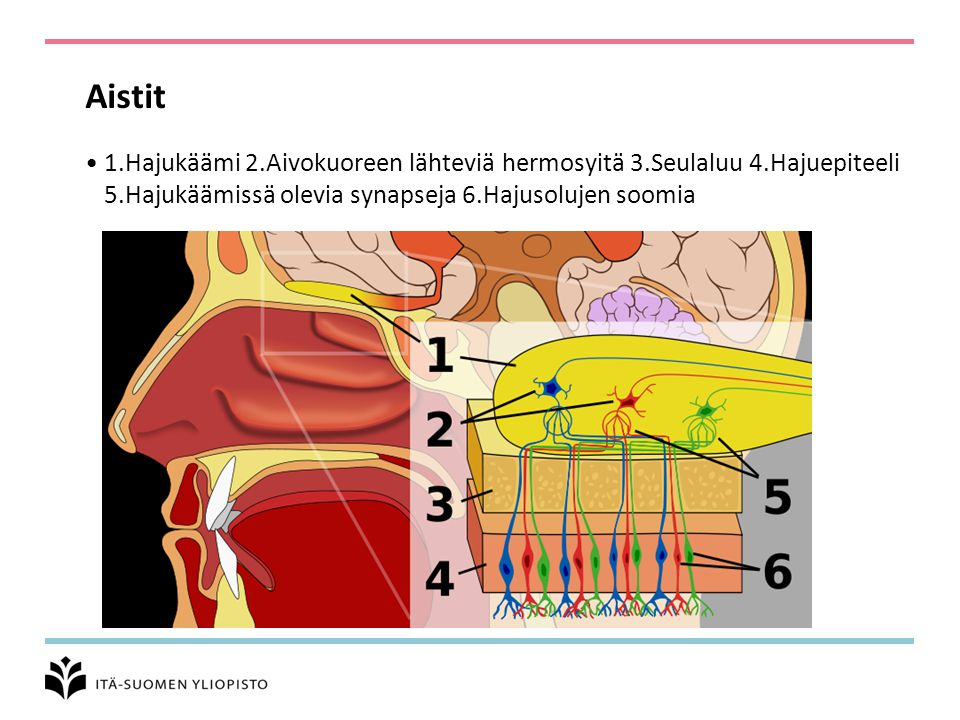 Aistit 1.Hajukäämi 2.Aivokuoreen lähteviä hermosyitä 3.Seulaluu 4.Hajuepiteeli 5.Hajukäämissä olevia synapseja 6.Hajusolujen soomia.