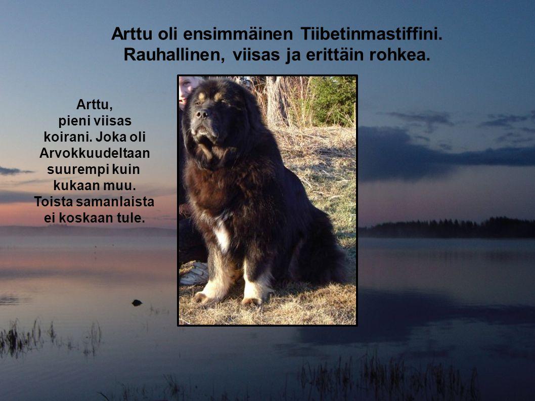 Arttu oli ensimmäinen Tiibetinmastiffini.