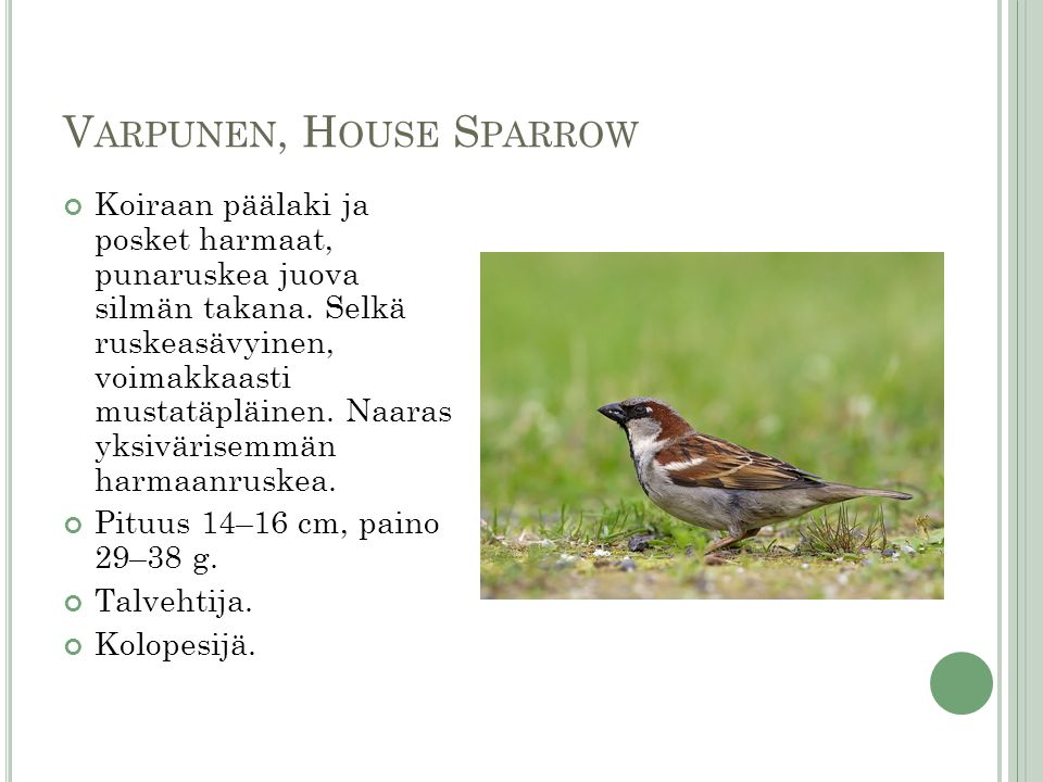 Varpunen, House Sparrow