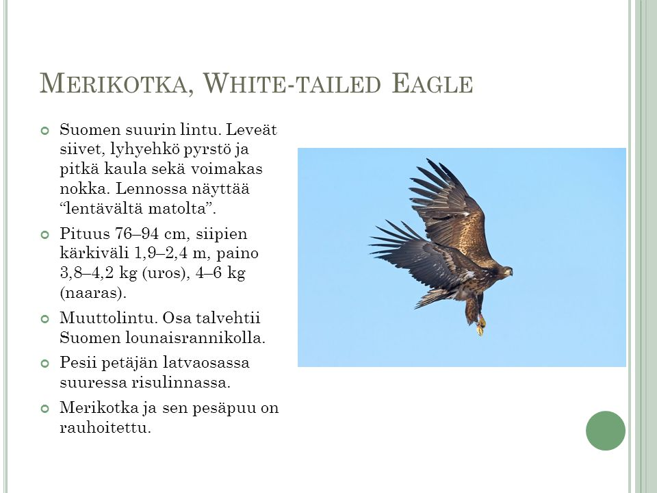 Merikotka, White-tailed Eagle