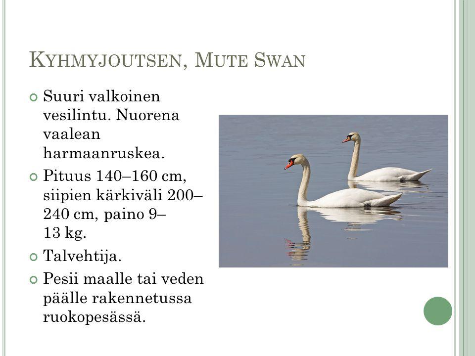 Kyhmyjoutsen, Mute Swan