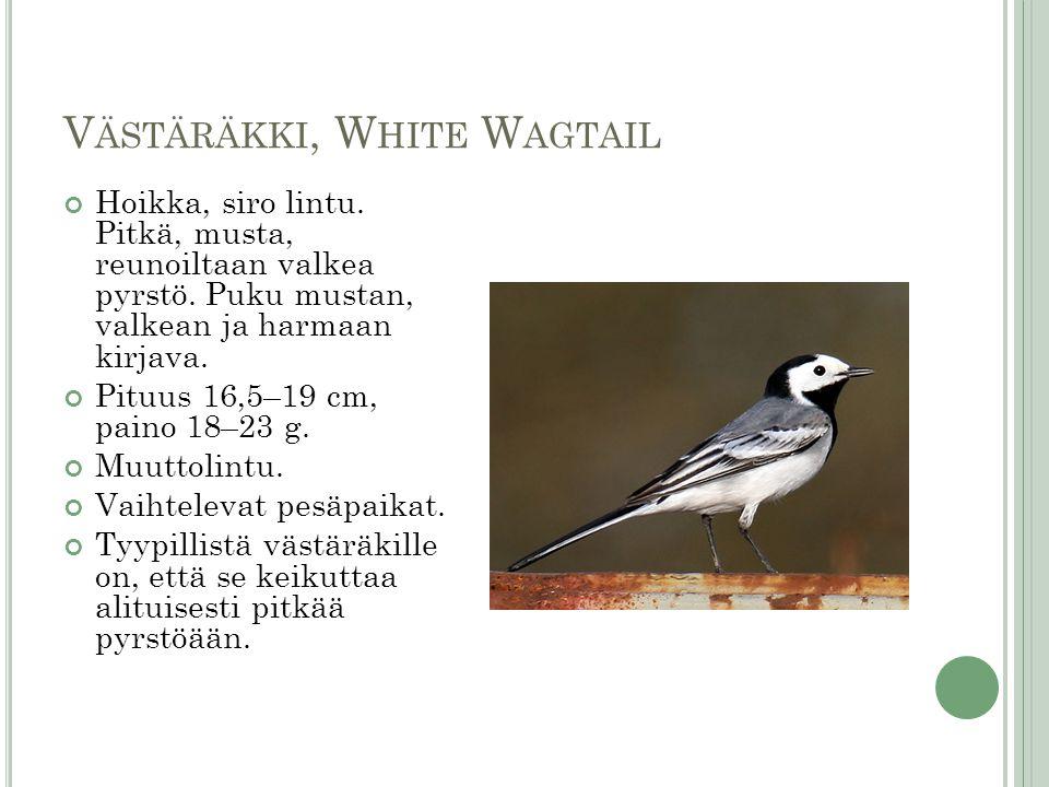 Västäräkki, White Wagtail