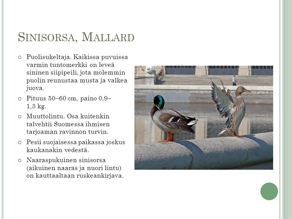 Sinisorsa, Mallard