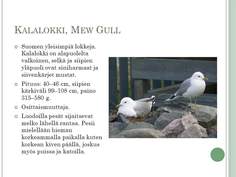 Kalalokki, Mew Gull