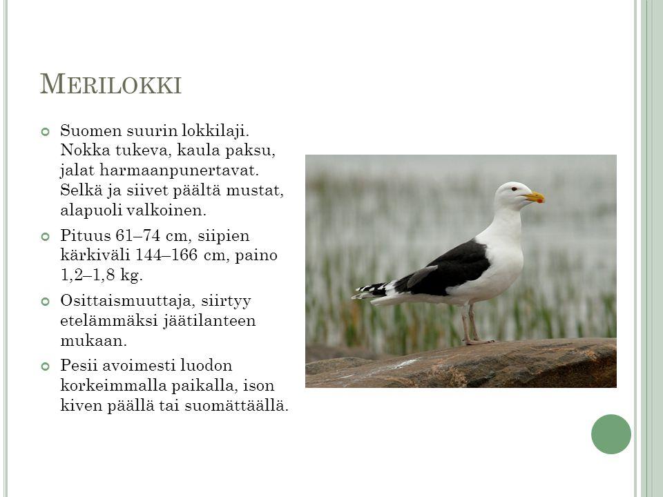 Merilokki Suomen suurin lokkilaji. Nokka tukeva, kaula paksu, jalat harmaanpunertavat. Selkä ja siivet päältä mustat, alapuoli valkoinen.
