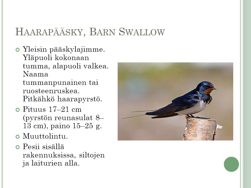 Haarapääsky, Barn Swallow