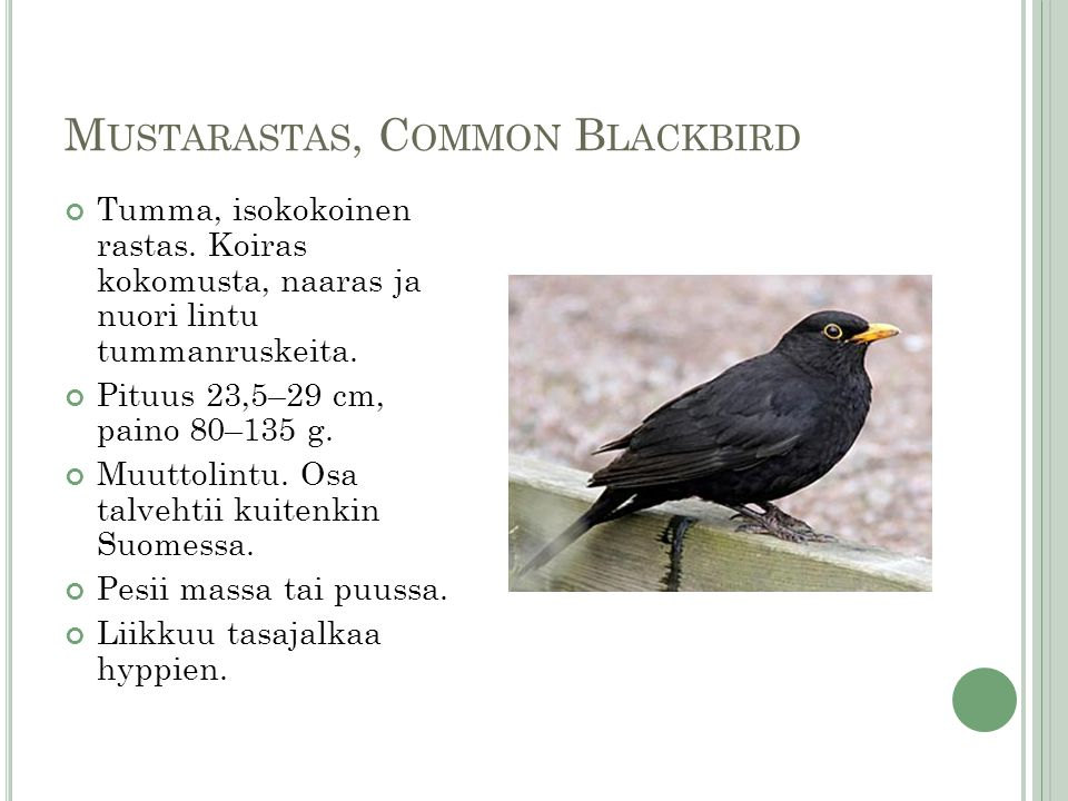 Mustarastas, Common Blackbird