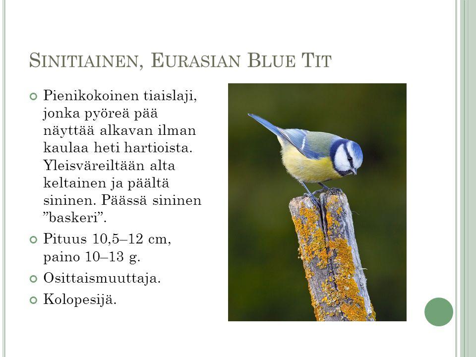 Sinitiainen, Eurasian Blue Tit