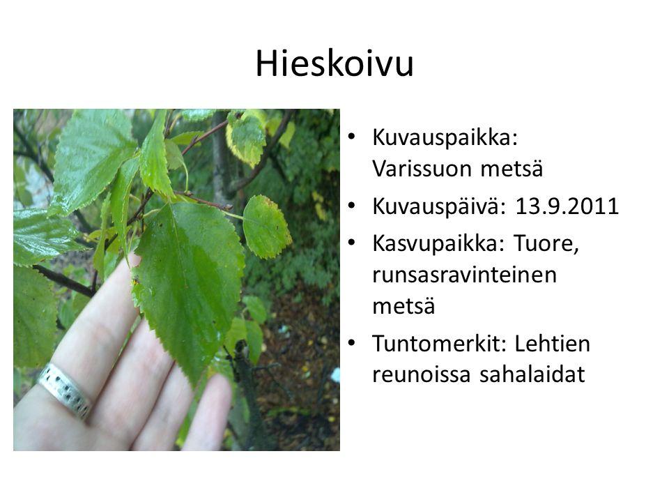 Hieskoivu Kuvauspaikka: Varissuon metsä Kuvauspäivä: 13.9.2011