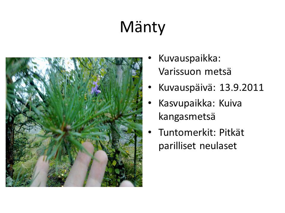 Mänty Kuvauspaikka: Varissuon metsä Kuvauspäivä: 13.9.2011