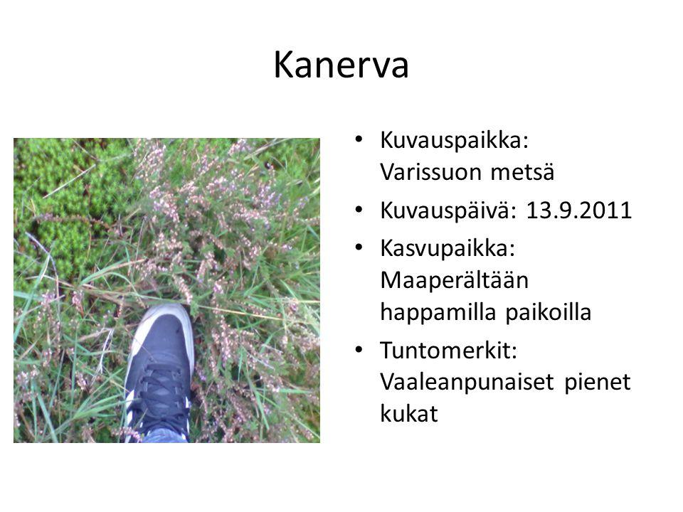 Kanerva Kuvauspaikka: Varissuon metsä Kuvauspäivä: 13.9.2011