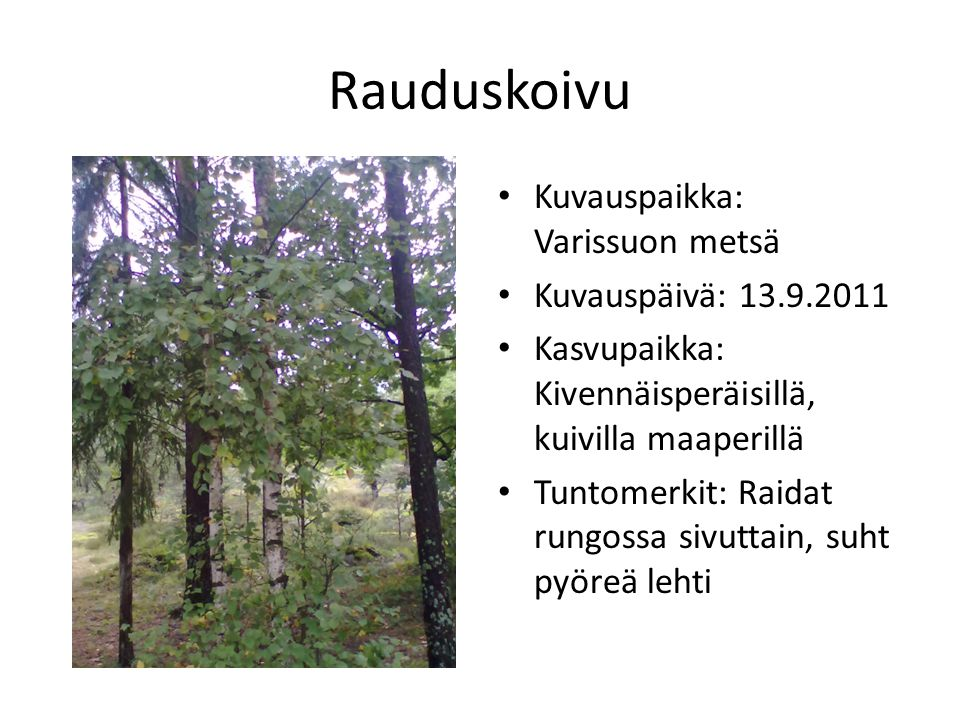 Rauduskoivu Kuvauspaikka: Varissuon metsä Kuvauspäivä: 13.9.2011