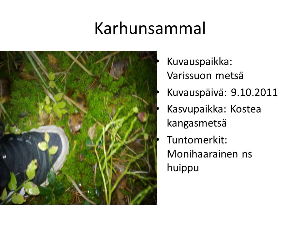 Karhunsammal Kuvauspaikka: Varissuon metsä Kuvauspäivä: 9.10.2011
