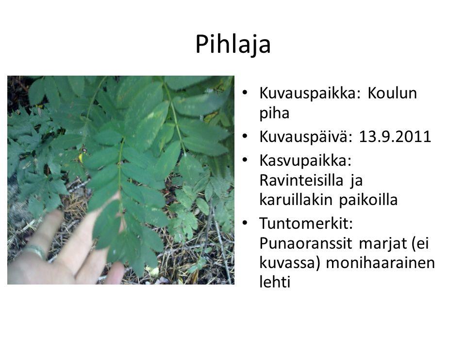 Pihlaja Kuvauspaikka: Koulun piha Kuvauspäivä: 13.9.2011