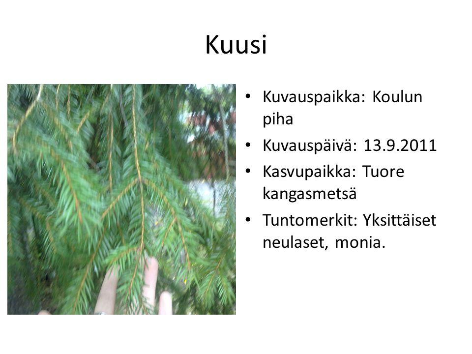 Kuusi Kuvauspaikka: Koulun piha Kuvauspäivä: 13.9.2011