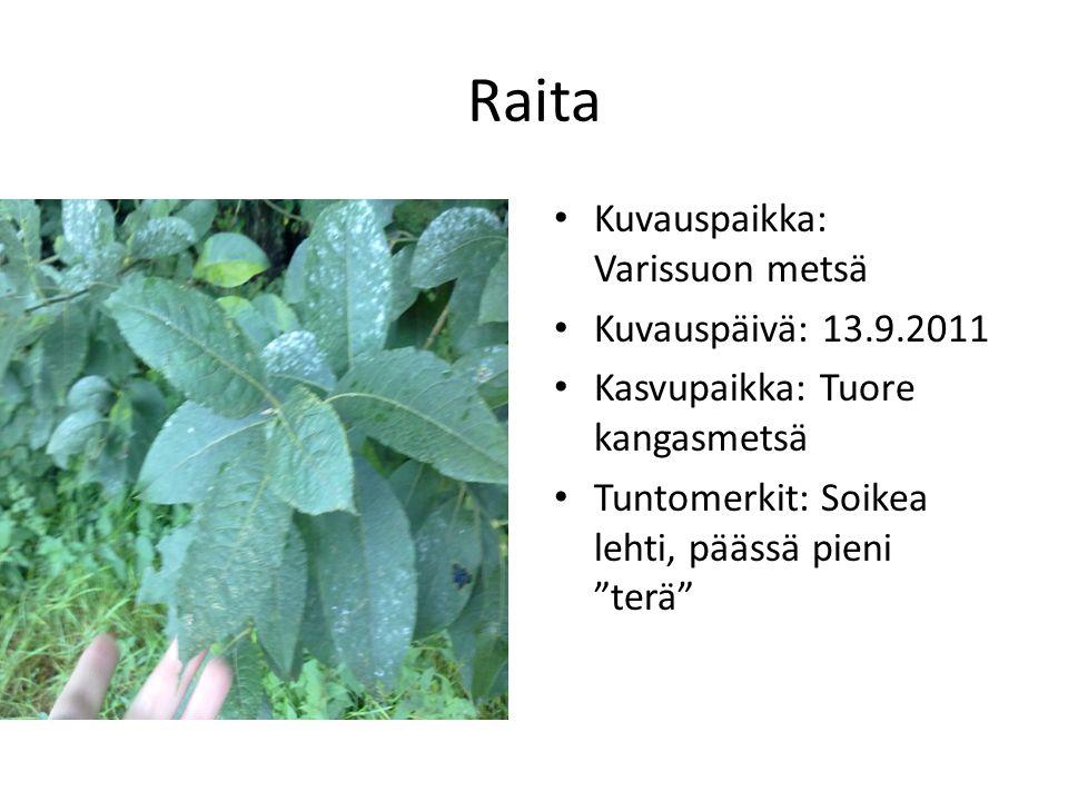 Raita Kuvauspaikka: Varissuon metsä Kuvauspäivä: 13.9.2011