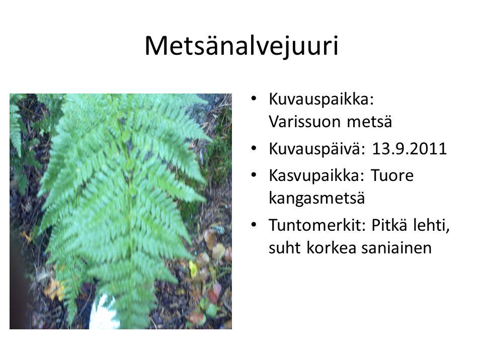 Metsänalvejuuri Kuvauspaikka: Varissuon metsä Kuvauspäivä: 13.9.2011