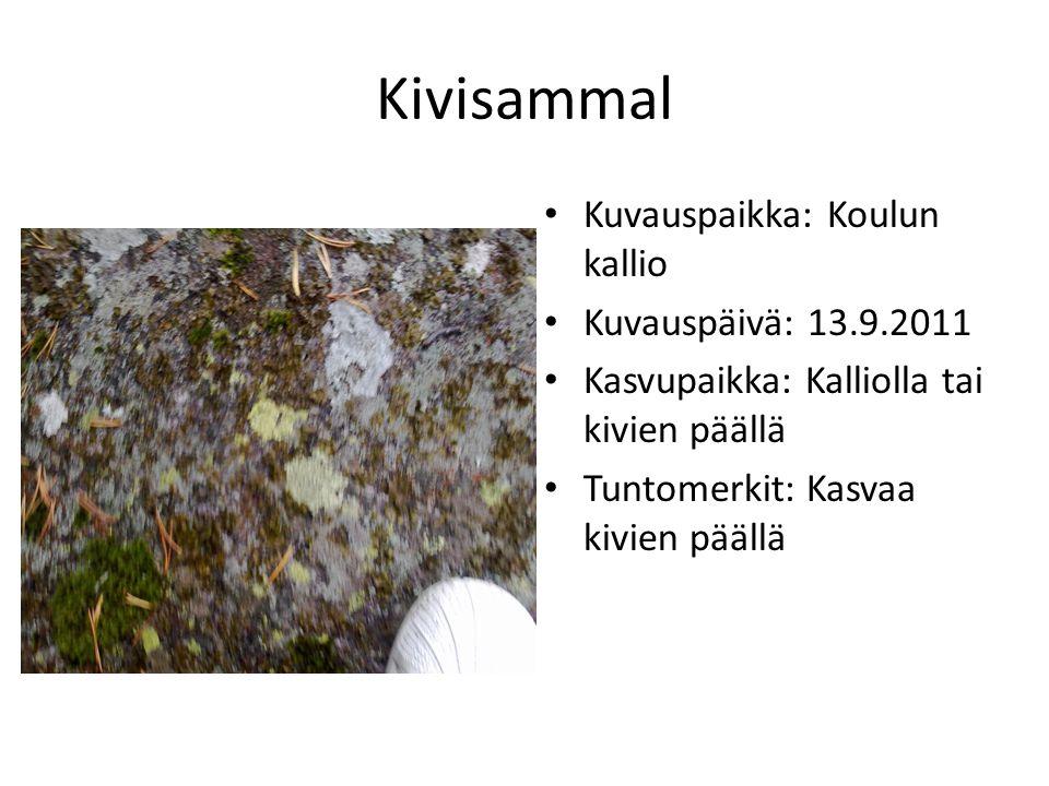 Kivisammal Kuvauspaikka: Koulun kallio Kuvauspäivä: 13.9.2011