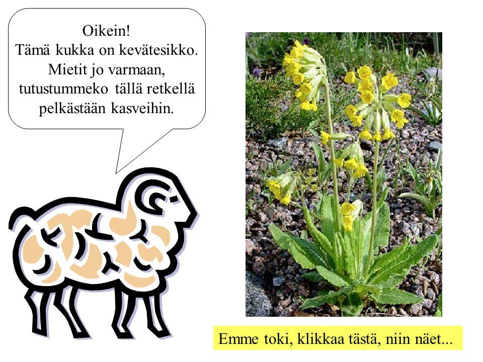 Tämä kukka on kevätesikko. Mietit jo varmaan,