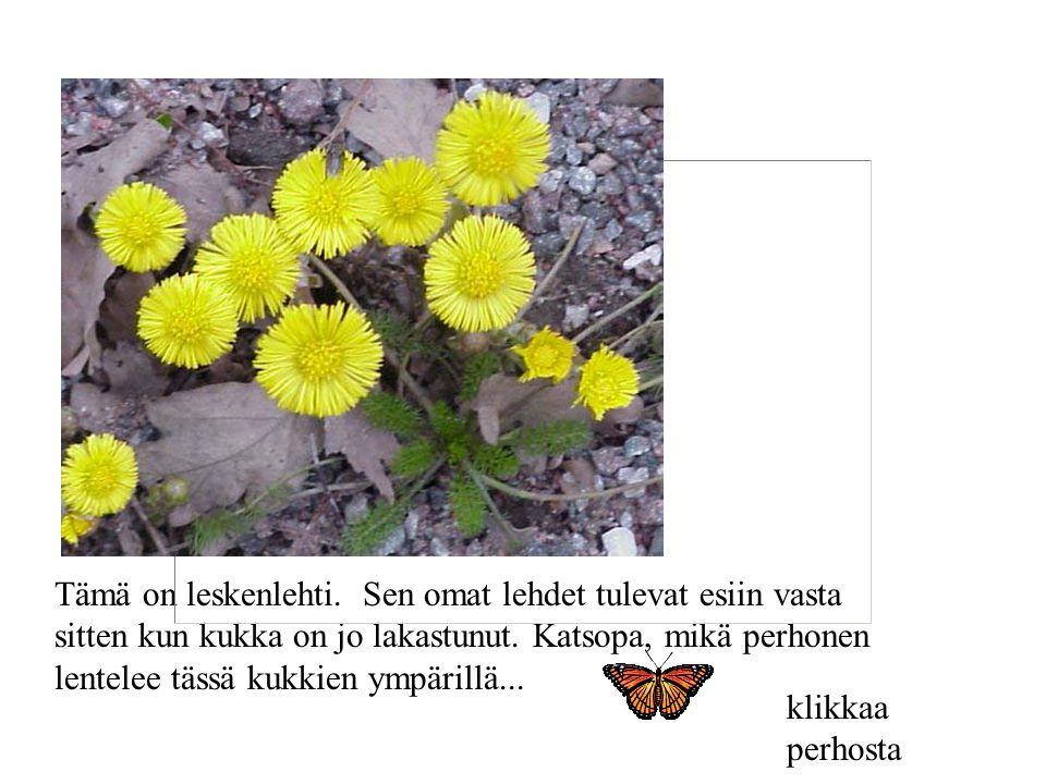Tämä on leskenlehti. Sen omat lehdet tulevat esiin vasta sitten kun kukka on jo lakastunut. Katsopa, mikä perhonen lentelee tässä kukkien ympärillä...