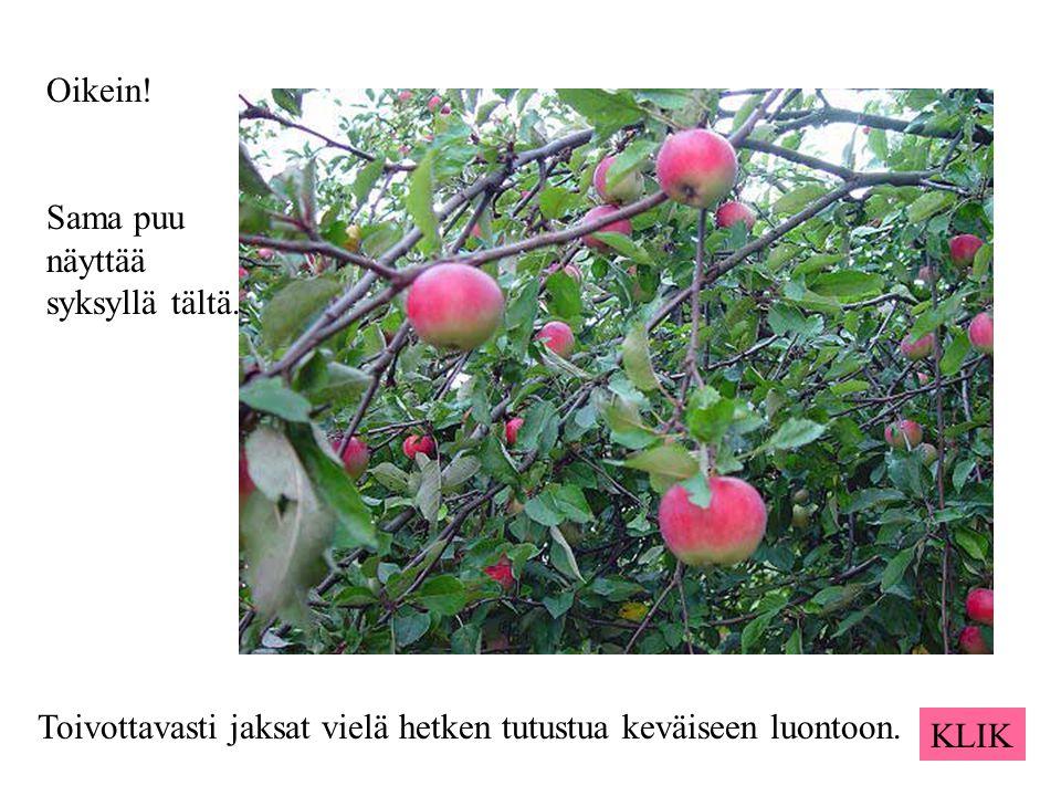 Oikein! Sama puu näyttää syksyllä tältä. Toivottavasti jaksat vielä hetken tutustua keväiseen luontoon.