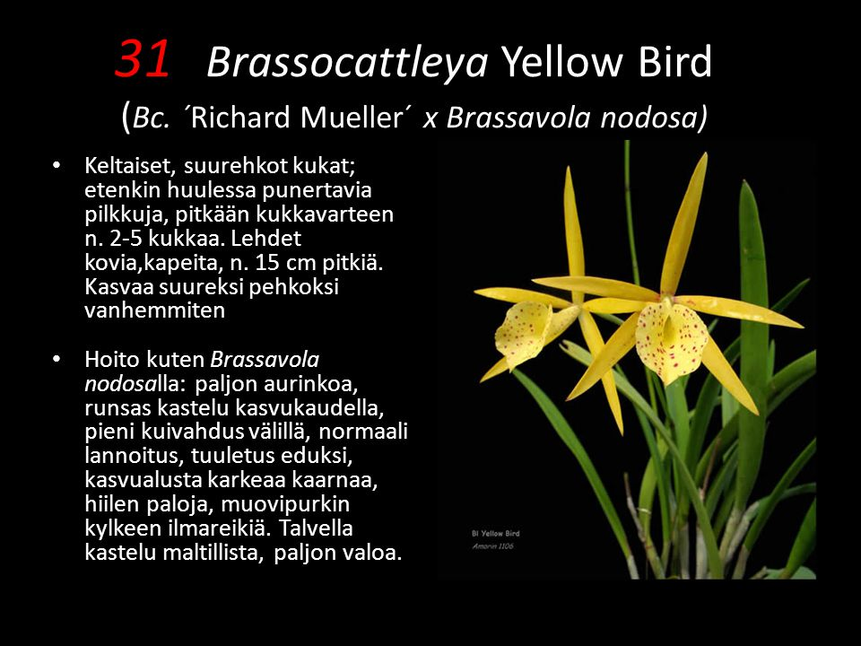 31 Brassocattleya Yellow Bird (Bc