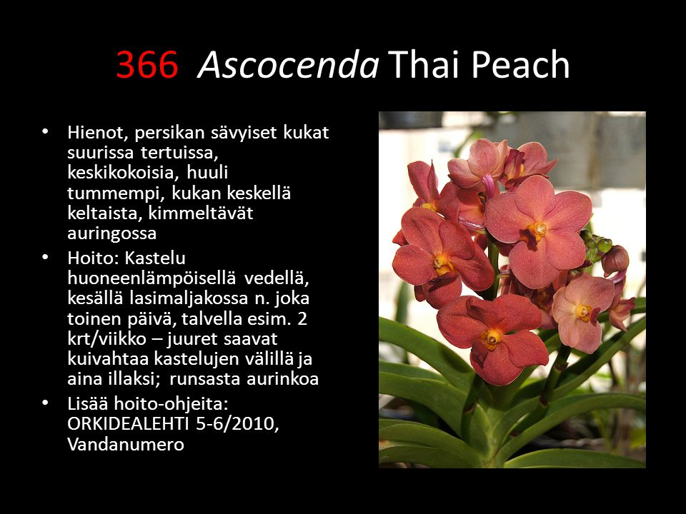 366 Ascocenda Thai Peach