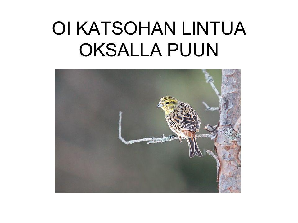 OI KATSOHAN LINTUA OKSALLA PUUN