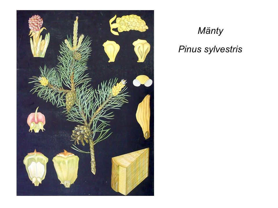Mänty Pinus sylvestris