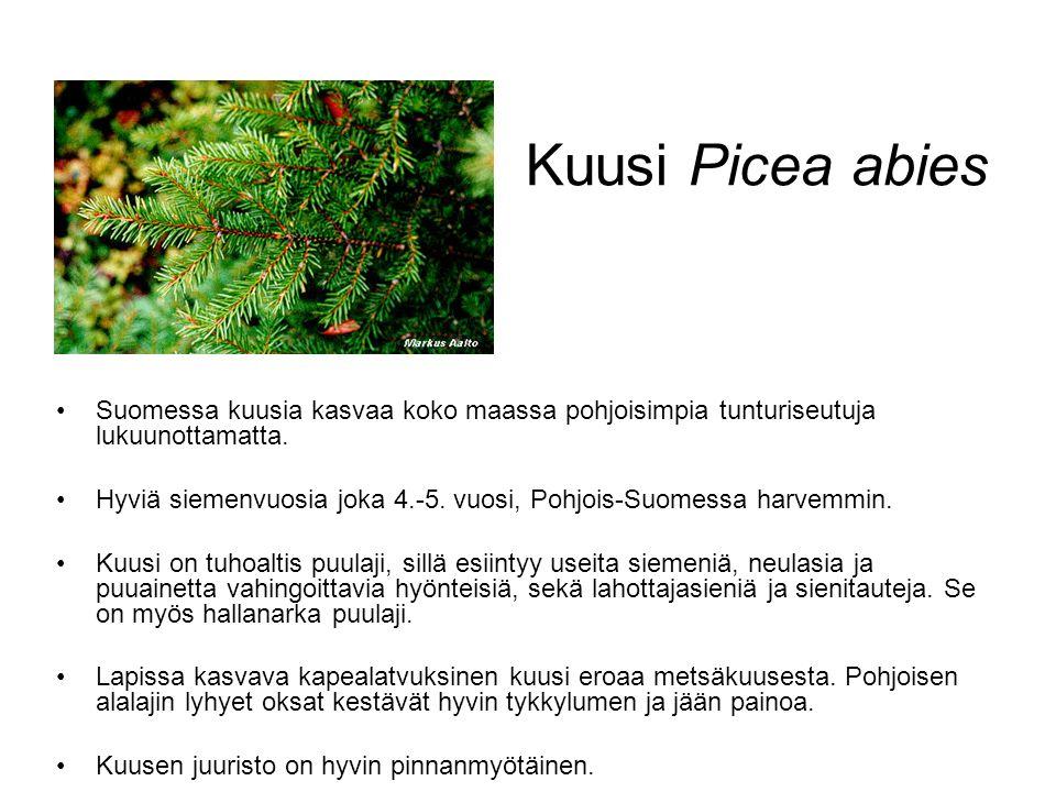 Kuusi Picea abies Suomessa kuusia kasvaa koko maassa pohjoisimpia tunturiseutuja lukuunottamatta.