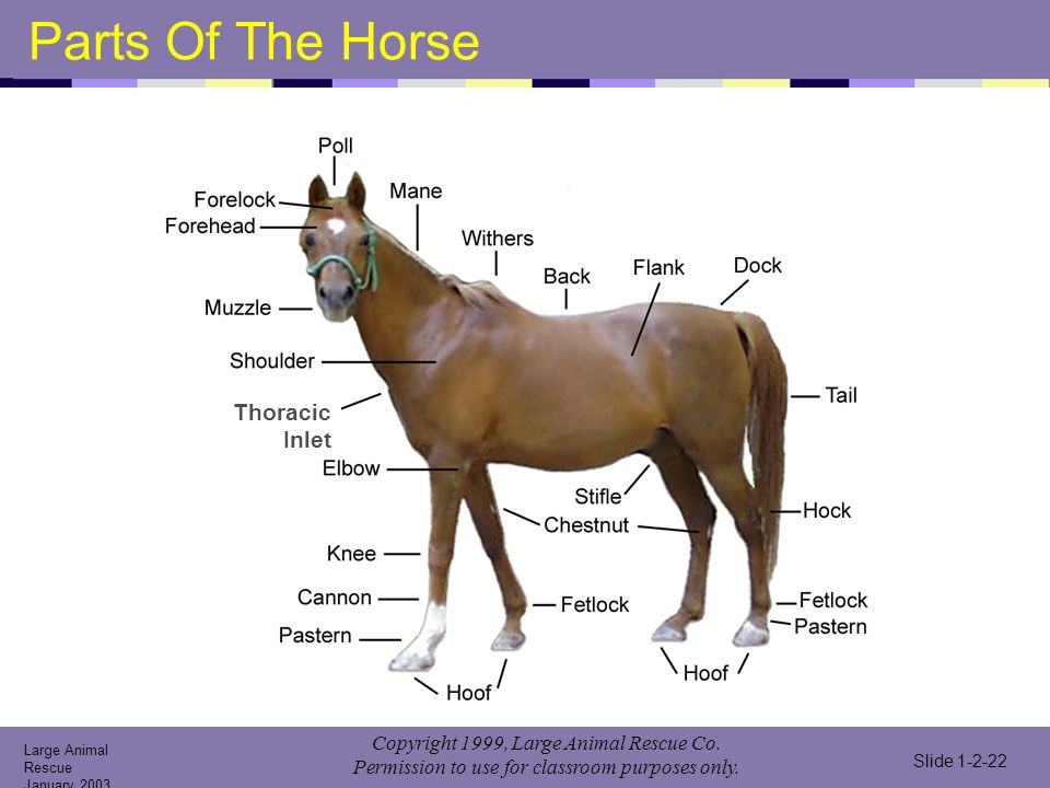 Parts Of The Horse Thoracic Inlet