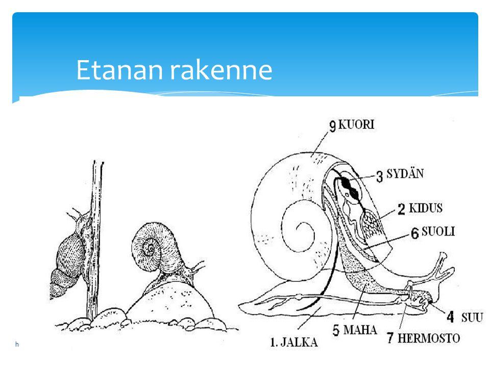 Etanan rakenne helenarimalimankkaankoulu2013