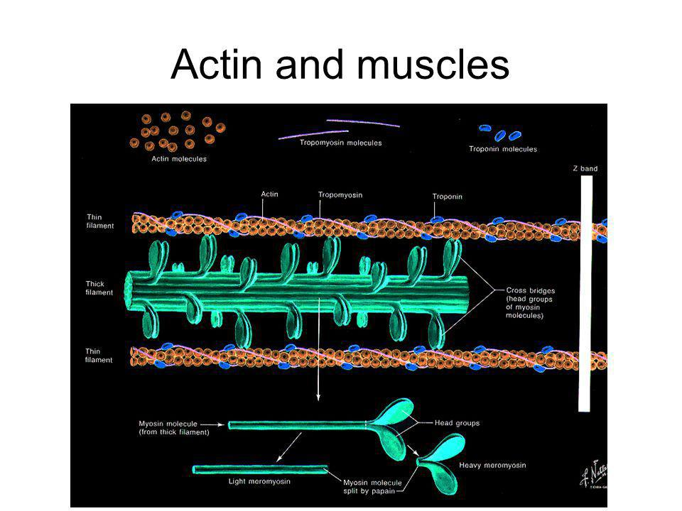 Actin and muscles