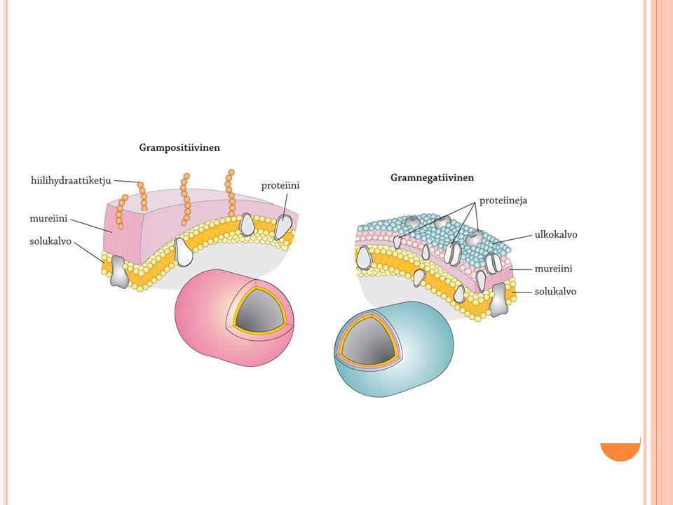 Grampositiivisten bakteerien erityispiirteitä: