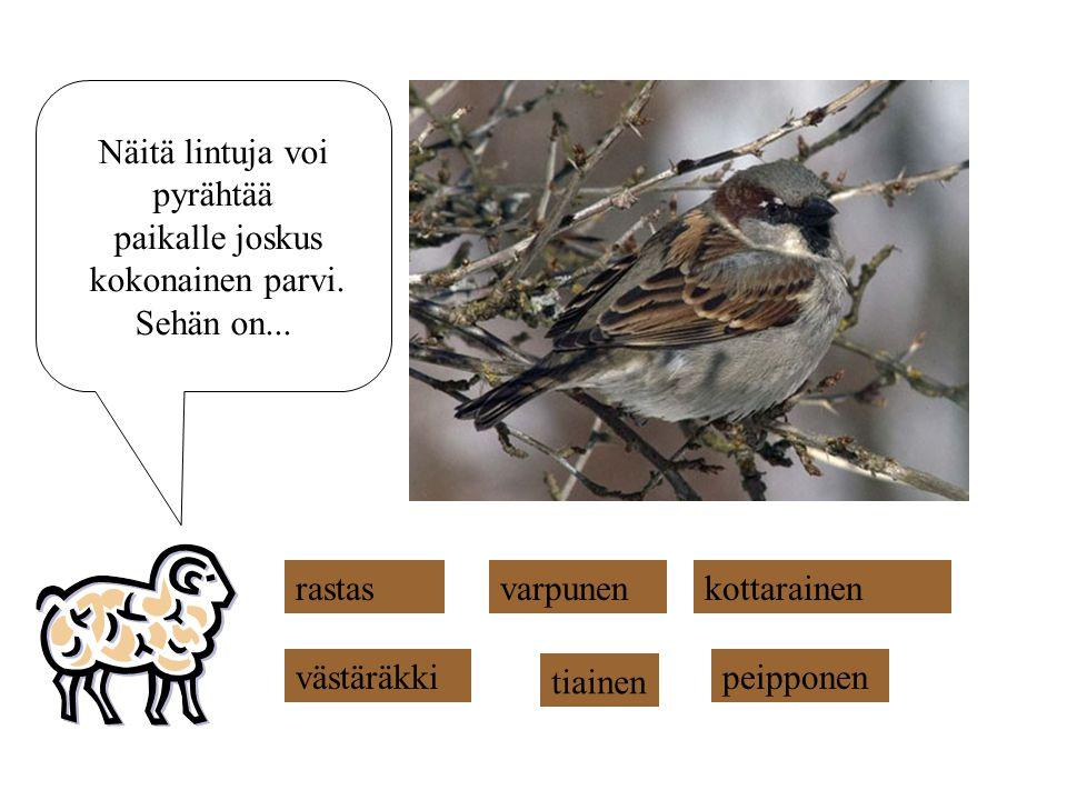 Näitä lintuja voi pyrähtää. paikalle joskus. kokonainen parvi. Sehän on... rastas. varpunen. kottarainen.