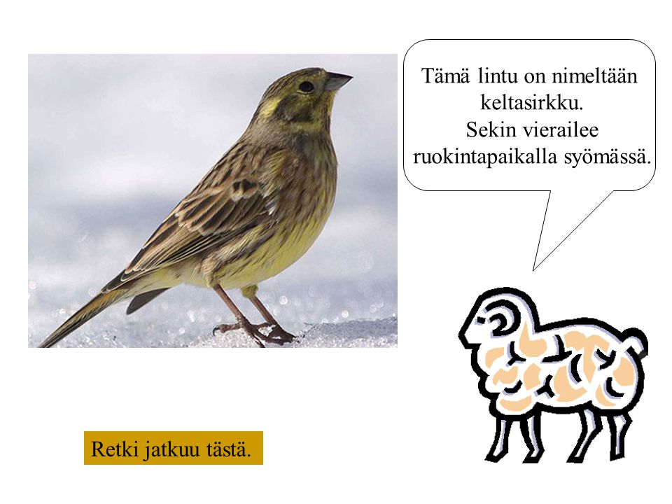 Tämä lintu on nimeltään keltasirkku. Sekin vierailee