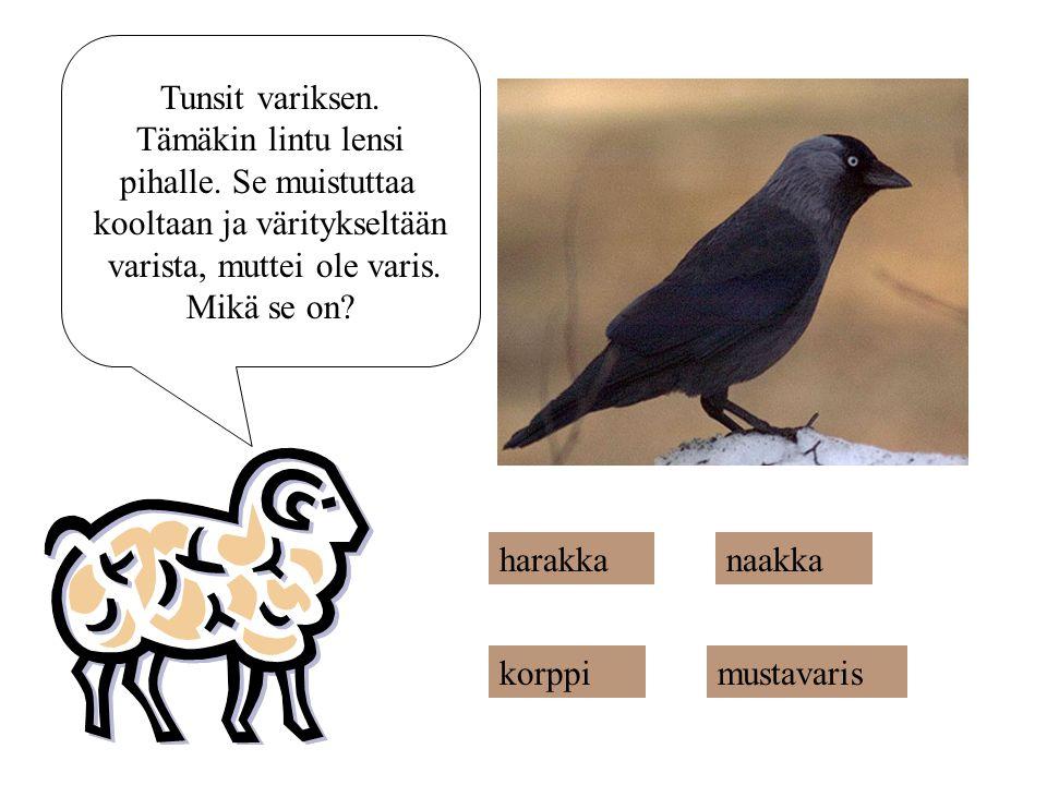 kooltaan ja väritykseltään varista, muttei ole varis. Mikä se on